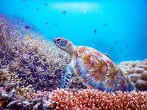 カリムンジャワのウミガメ